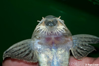 foto 145: Pseudohemiodon lamina