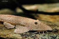 Bild 3: Pseudohemiodon laticeps