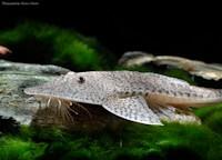 Bild 6: Pseudohemiodon laticeps