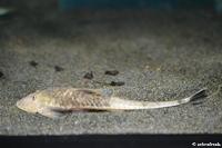"""Bild 2: Pseudohemiodon sp. """"Marble"""", Weibchen"""