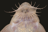 foto 147: Pseudohemiodon unillano