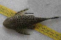 Bild 6: Pseudolithoxus/Lasiancistrus dumus (L244)