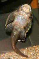 Bild 14: Pseudolithoxus/Lasiancistrus dumus (L244)