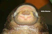 Bild 139: Pseudolithoxus dumus (L 244)