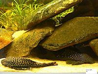 Bild 2: Pseudolithoxus/Lasiancistrus dumus (L244)