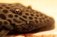 Bild 20: Pseudolithoxus/Lasiancistrus dumus (L244)