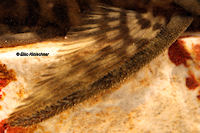Pic. 21: Pseudolithoxus dumus (L244)