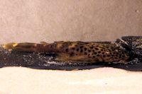 Pic. 30: Pseudolithoxus dumus (L 244) - ca. 3 Jahre