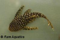 "Bild 2: Pseudolithoxus/Lasiancistrus sp. ""L328"""