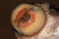 Bild 141: Pseudolithoxus nicoi