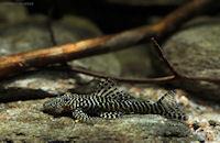 Bild 4: Pseudolithoxus tigris (L257)