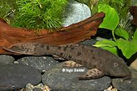 Bild 3: Pseudorinelepis genibarbis