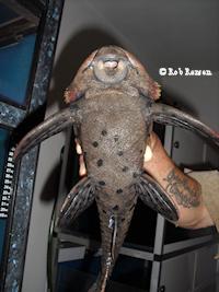 "Bild 10: Pseudorinelepis cf. genibarbis ""L95"""