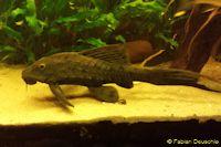 "Bild 2: Pseudorinelepis sp. ""Manaus"""
