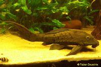 "Pseudorinelepis sp. ""Manaus"""