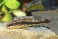 Pseudotothyris