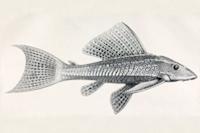 Isorineloricaria undecimalis - Lateralansicht