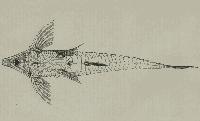 Bild 144: Rhadinoloricaria macromystax