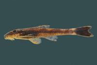 Rhinolekos