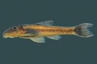 Rhinolekos garavelloi, holotype, DZSJRP 10479, 31.4 mm SL, male, stream at Fazenda Lageado, rio Paranaíba drainage, Caldas Novas, Goiás State, Brazil