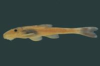 Rhinolekos schaeferi, holotype, MCP 26939, 35.4 mm SL, male, córrego Fazenda at Chácara Fernanda, rio Paranaíba drainage, Alexânia, Goiás State, Brazil