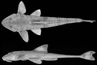 Rineloricaria capitonia sp. nov. holótipo MCP 19687, , 143,7mm CP, rio Alegre, estrada Condor/Colônia Cash, Condor (28º11