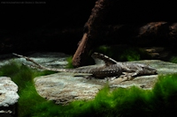 Leliella heteroptera