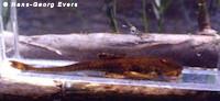 Bild 3: Rineloricaria latirostris