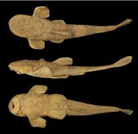 Bild 6: Rineloricaria latirostris , lectotype, BMNH 1899.12.18.6, 228 mm SL