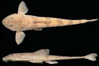 Rineloricaria maacki, holotype, male, MNRJ 31158, 108.4 mm SL, rio Iguaçu, União da Vitória, Paraná, Brazil