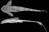 Rineloricaria setepovos sp. nov. holótipo MCP 19680, , 106mm CP, rio Piratini na Fazenda Hinz, distrito de Coimbra, Santo Ângelo (28º42