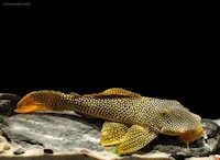foto 3: Scobinancistrus aureatus (L14)