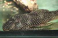 "Bild 4: Scobinancistrus cf. pariolispos ""L48"""