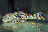 "Bild 5: Scobinancistrus sp. ""L 253"""