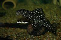 Bild 2: Scobinancistrus pariolispos (L133)