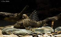 Peckoltichthys