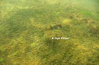 """Spatuloricaria sp. """"Rio Xingu"""""""