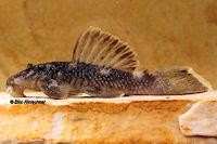 foto 6: Spectracanthicus murinus