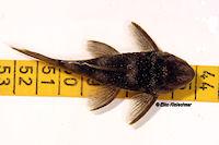 Bild 6: Spectracanthicus murinus