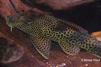 """Bild 5: Squaliforma cf. emarginata/Aphanotorulus cf. emarginatus """"L153"""""""