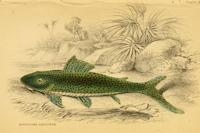 Bild 2: Squaliforma emarginata/Aphanotorulus emarginatus