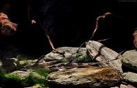 Bild 6: Sturisoma aureum/Sturisomatichthys aureus