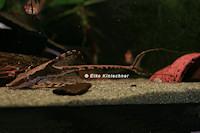 Bild 2: Sturisoma festivum/Sturisomatichthys festivus