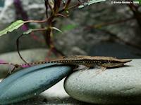 Bild 5: Sturisoma nigrirostrum