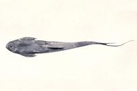 Bild 4: Sturisomatichthys citurensis