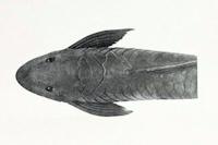 Bild 5: Sturisomatichthys citurensis