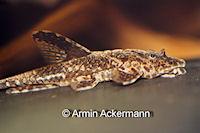 Sturisomatichthys