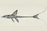 Bild 3: Sturisomatichthys leightoni