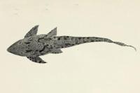 Bild 4: Sturisomatichthys leightoni