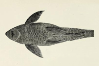 Bild 5: Sturisomatichthys leightoni